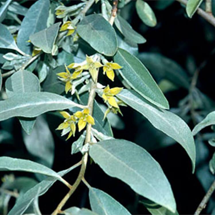 Elaeagnus-angustifolia.-Oleaster.-RHS.jpg