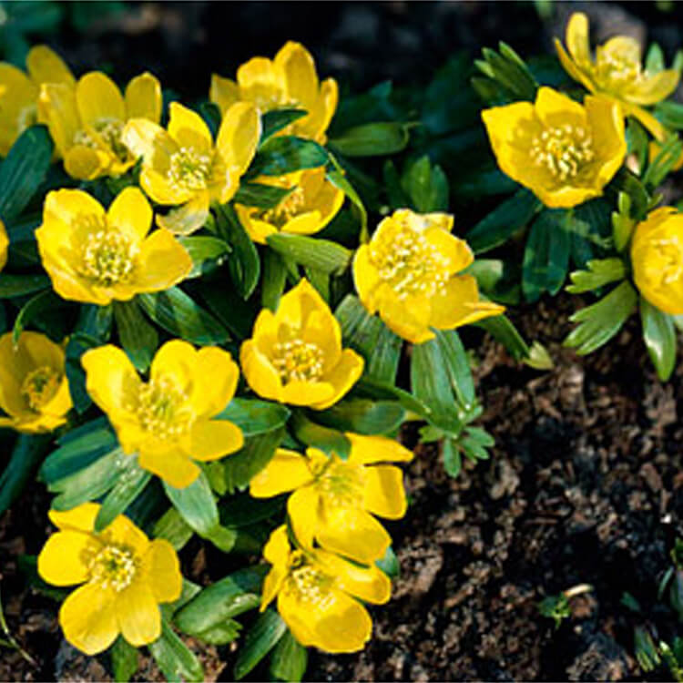 Eranthis-hyemalis.-Winter-aconite.-RHS.jpg