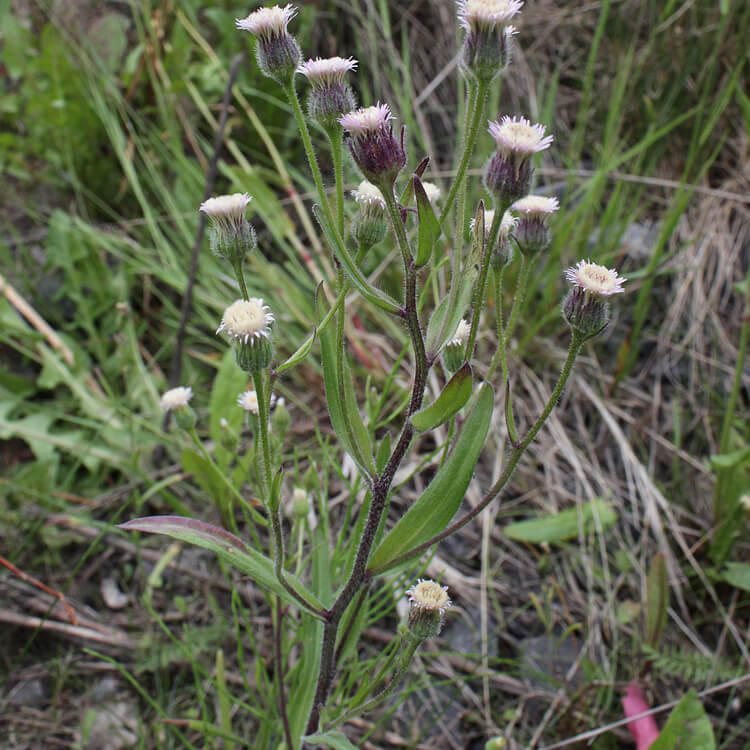 Erigon-acris.-Blue-fleabane.-Wikimedia-Commons.jpg