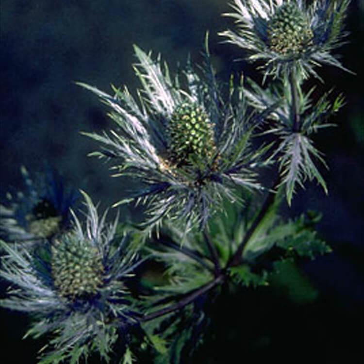 Eryngium-alpinum.-Alpine-eryngo.-RHS.jpg