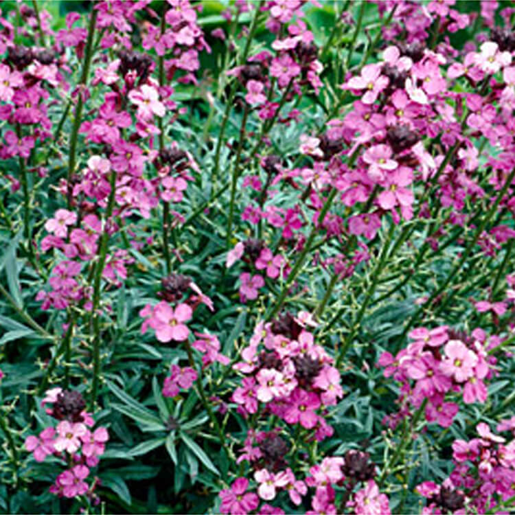 Erysimum-Bowless-Mauve.-Wallflower-Bowless-Mauve.-RHS.jpg