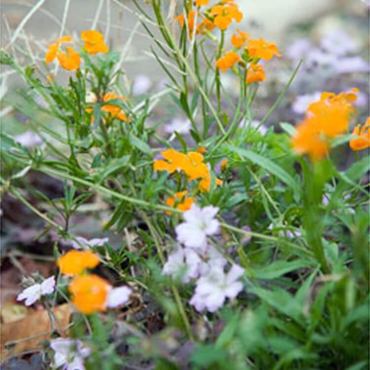 Erysimum-x-allionii.-Siberian-wallflower.-RHS.jpg