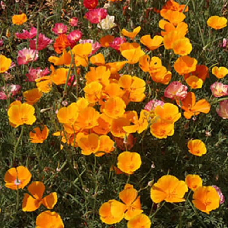Eschscholzia-californica.-California-poppy.-RHS.jpg