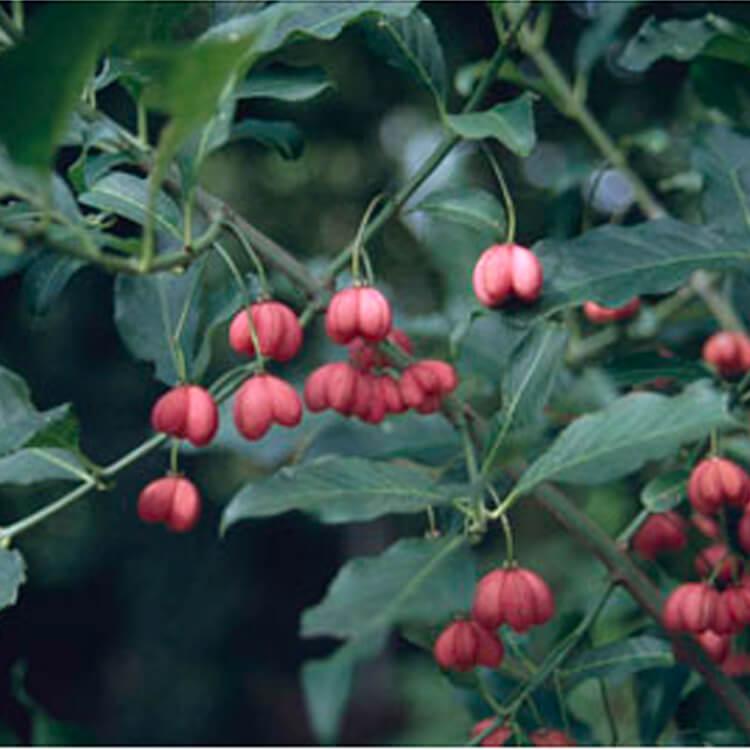 Euonymus-europaeus.-Spindle.-RHS.jpg