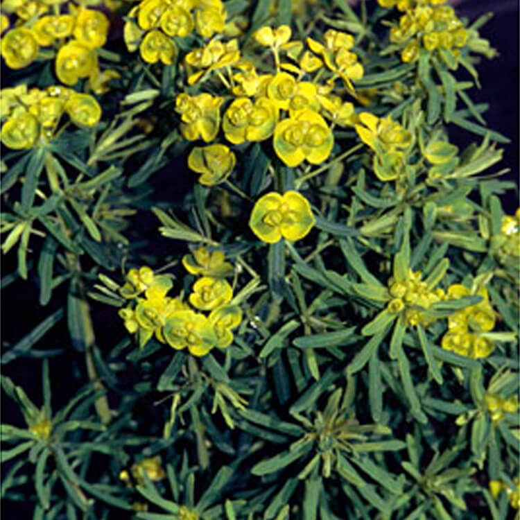 Euphorbia-cyparissias.-Cypress-spurge.-RHS.jpg