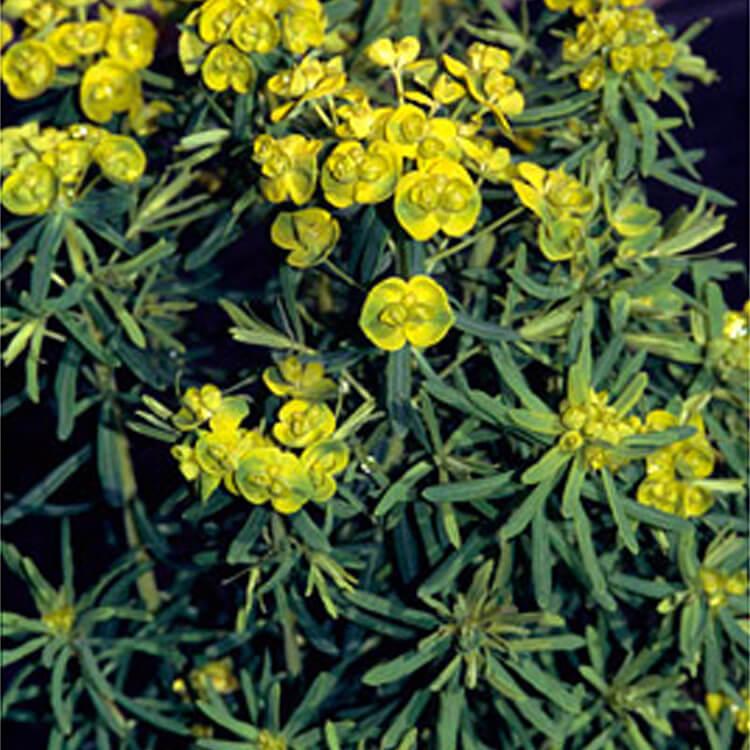 Euphorbia-cyparissias.-Cypress-spurge.-RHS.jpg