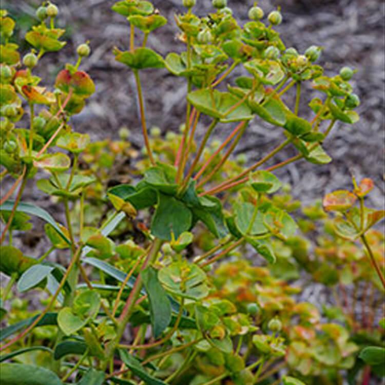 Euphorbia-nicaeensis.-Nice-spurge.-RHS.jpg