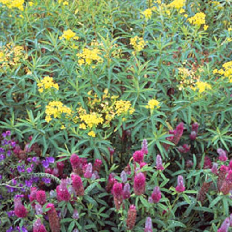 Euphorbia-sarawschanica.-Zeravshan-spurge.-RHS.jpg