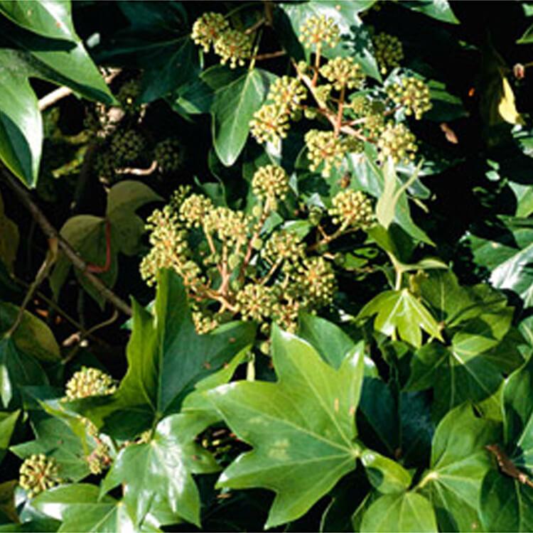 Fatshedera-lizei.-Tree-ivy-hybrid.-RHS.jpg