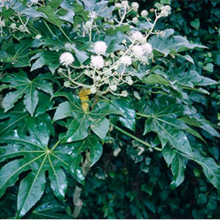 Fatsia-japonica-.-Japanese-aralia.-RHS.jpg