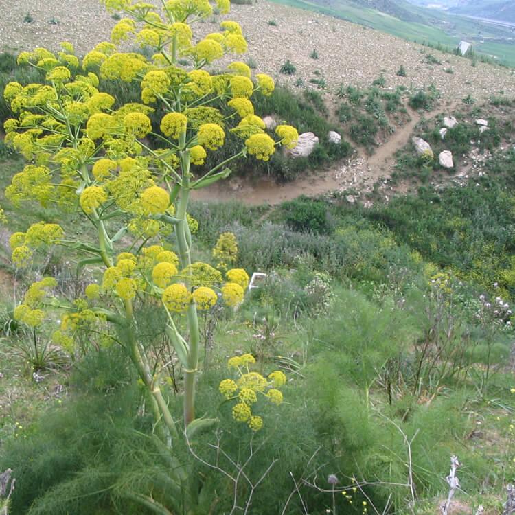 Ferula-communis.-Giant-fennel.-Wikimedia-Commons.jpg