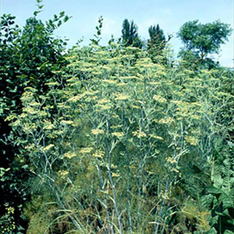 Foeniculum-vulgare.-Common-fennel.-RHS.jpg