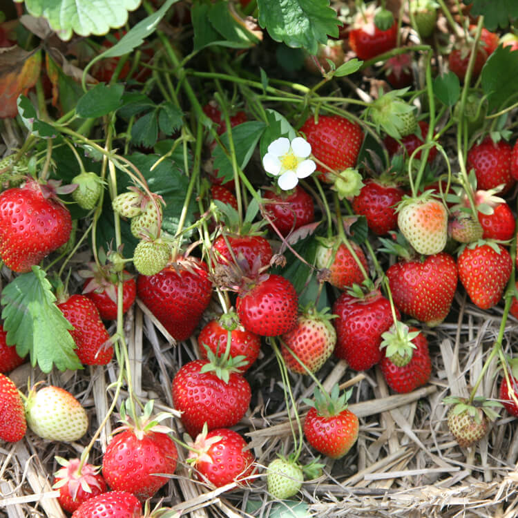 Fragaria-species.jpg