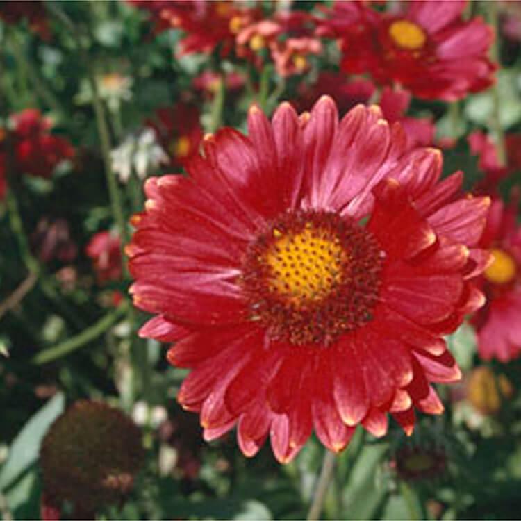 Gaillardia-x-grandiflora.-Blanketflower-burgunder.-RHS.jpg