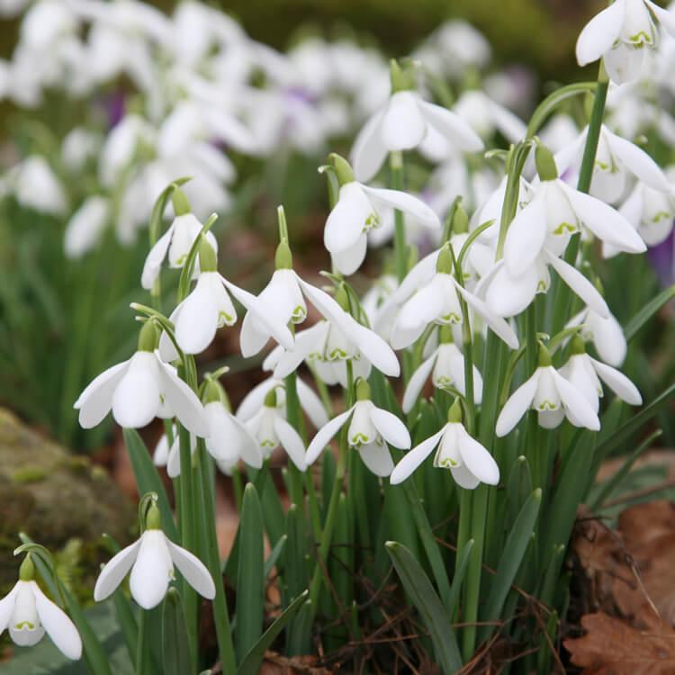 Galanthus-species.jpg