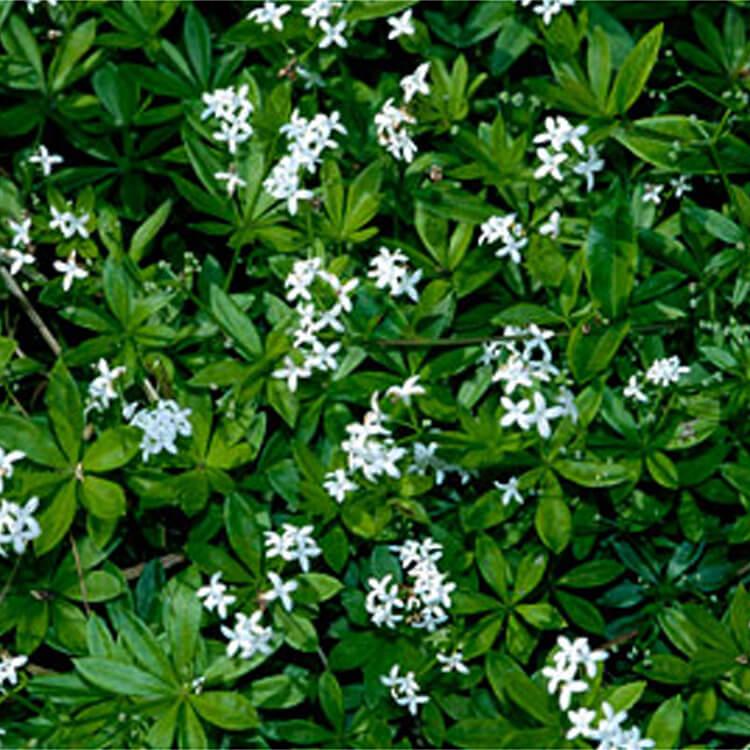 Galium-odoratum.-Sweet-woodruff.-RHS.jpg