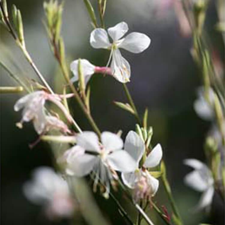 Gaura-lindheimeri.-White-gaura.-RHS.jpg