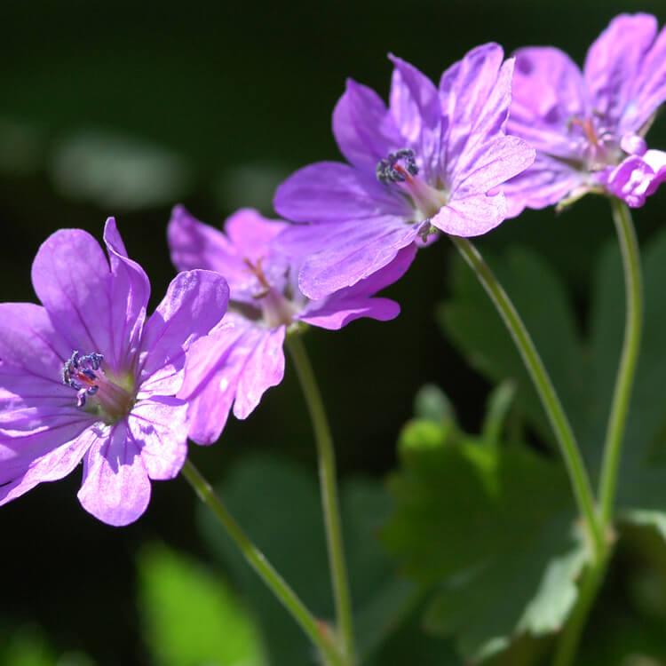 Geranium-species.jpg