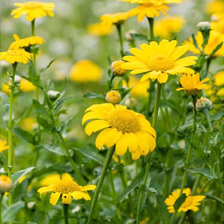 Glebionis-segetum.-Corn-marigold.-RHS.jpg