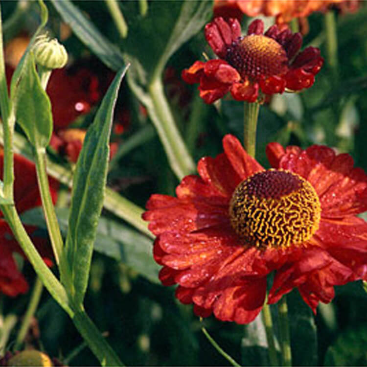 Helenium-species.-Helen_s-flower-Karneol.-RHS.jpg