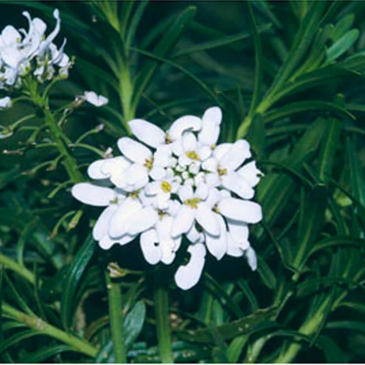 Iberis-sempervirens.-Perennial-candytuft.-RHS.jpg