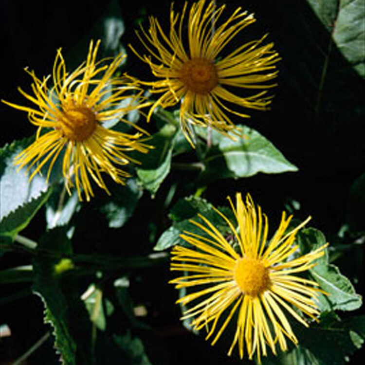 Inula-species.-Harvest-daisy.-RHS.jpg