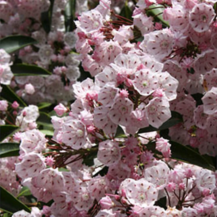 Kalmia-latifolia.-Mountain-laurel.-RHS.jpg