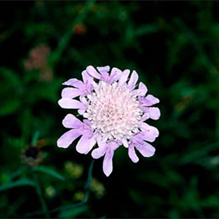 Knautia-arvensis.-Field-Scabious.-RHS.jpg
