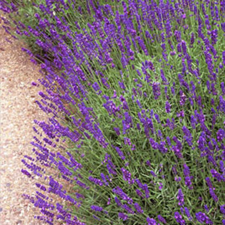 Lavandula-angustifolia.-English-lavender.-RHS.jpg
