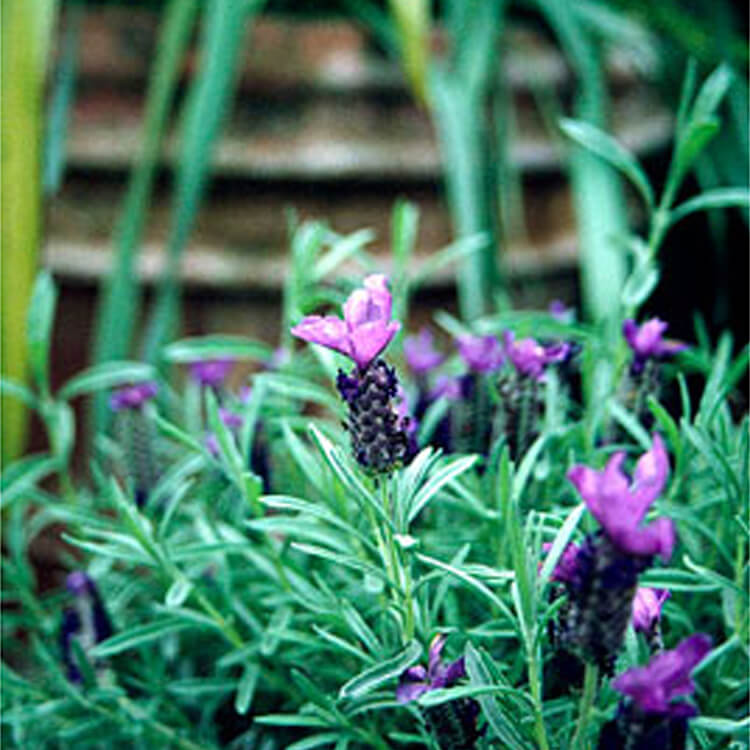 Lavandula-stoechas.-French-lavender.-RHS.jpg