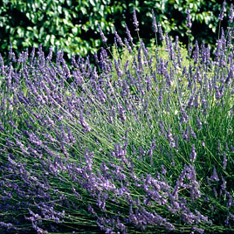 Lavandula-x-intermedia.-Lavandin-Sussex.-RHS.jpg