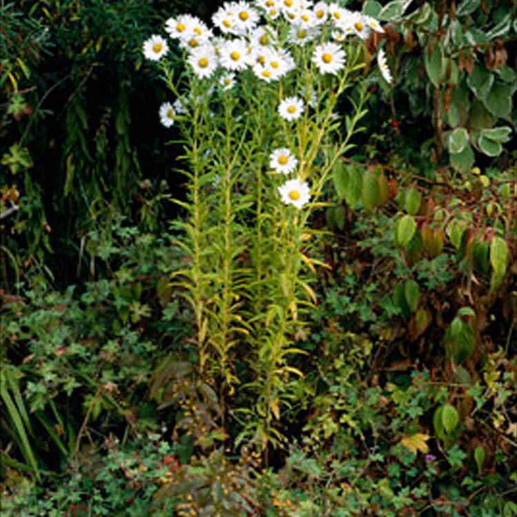 Leucanthemella-serotina.-Autumn-ox-eye.-RHS.jpg