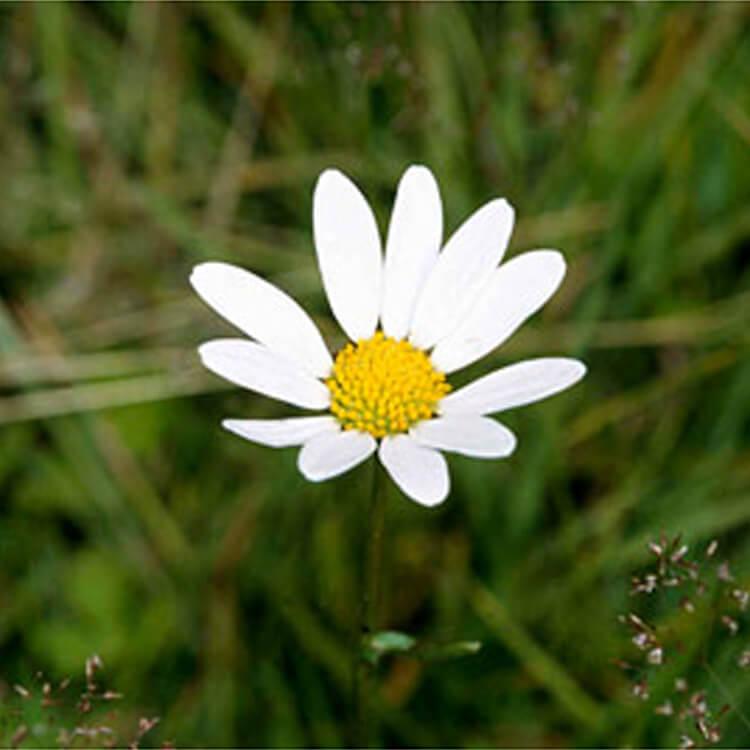Leucanthemum-vulgare.-Ox-eye-Daisy.-RHS.jpg