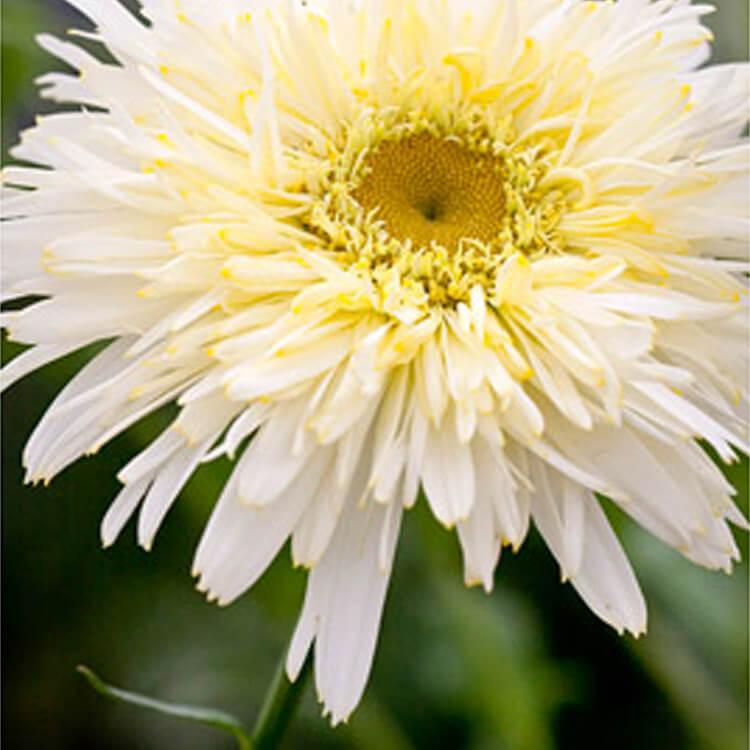 Leucanthemum-x-superbum.-Shasta-daisy.-RHS.jpg