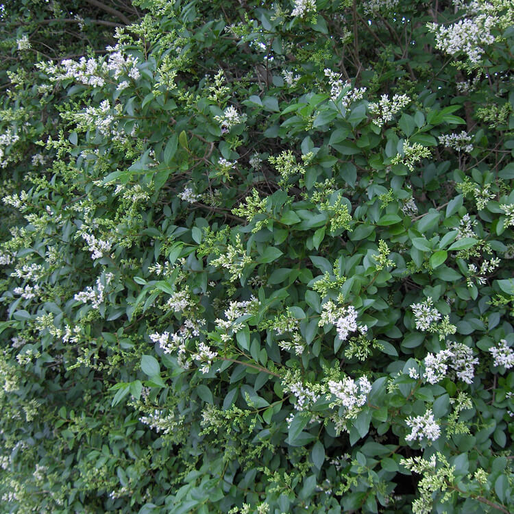 Ligustrum-ovalifolium.-Garden-privet.-Wikimedia-Commons.jpg