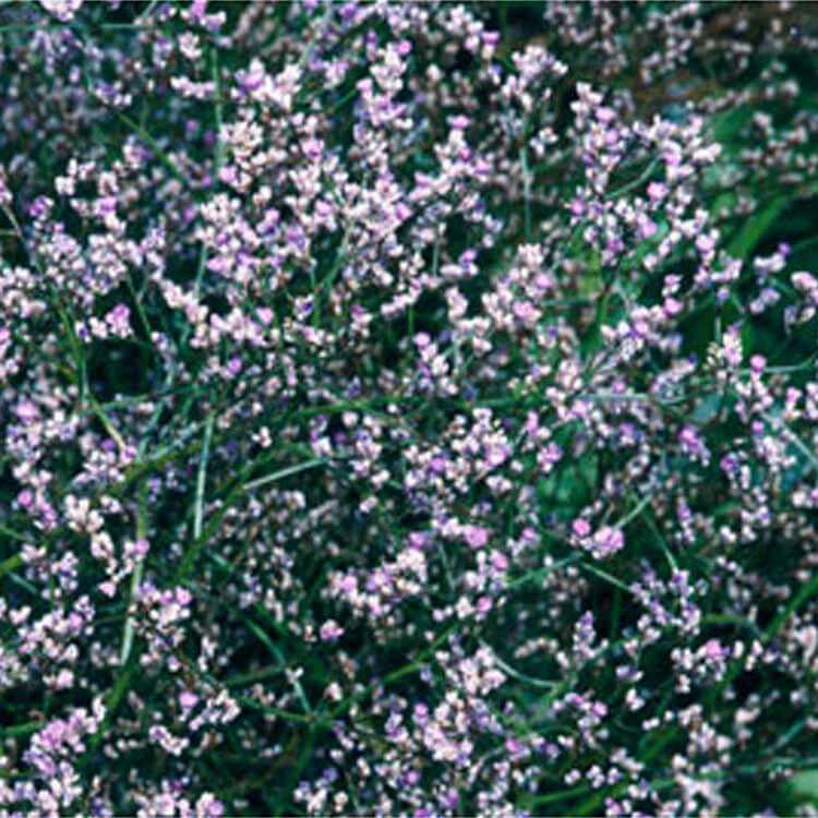 Limonium-platyphyllum.-Broad-leaved-statice.-RHS.jpg