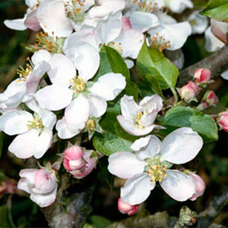 Malus-sylvestris.-Crab-apple.-RHS.jpg