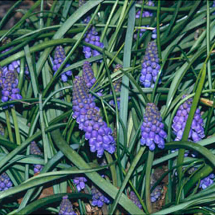 Muscari-armeniacum.-Armenian-grape-hyacinth.-RHS.jpg
