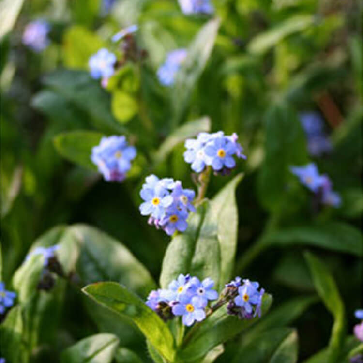 Myosotis-sylvatica.-Wood-forget-me-not.-RHS.jpg