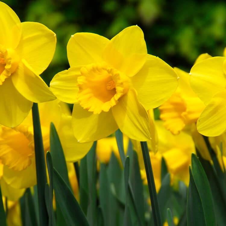 Narcissus-species.jpg