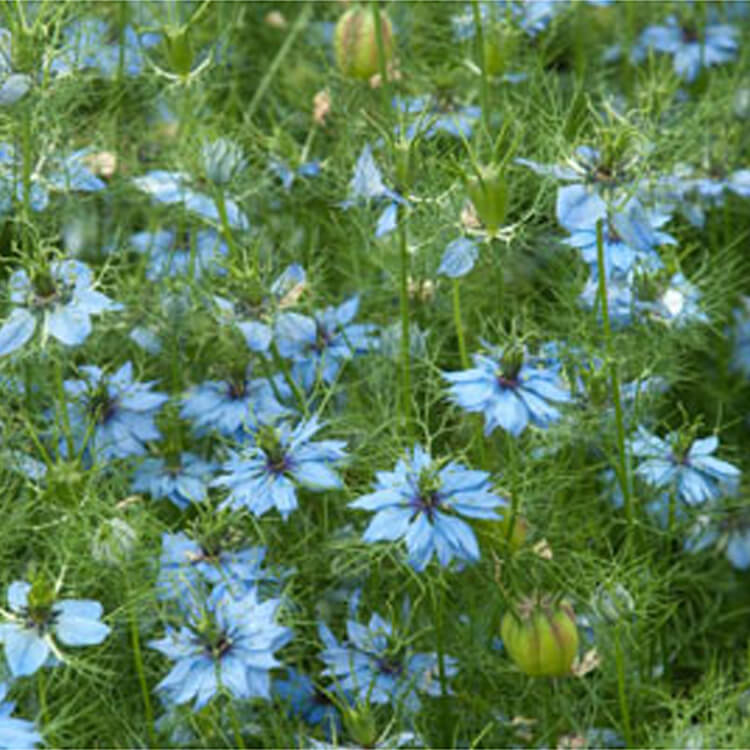 Nigella-damascena.-Love-in-a-mist.-RHS.jpg