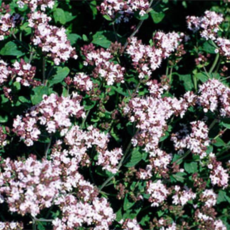 Origanum-vulgare.-Wild-Marjoram.-RHS.jpg