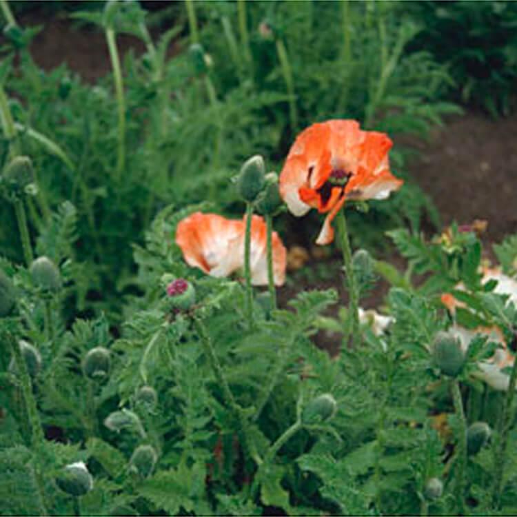 Papaver-orientale.-Oriental-poppy.-RHS.jpg