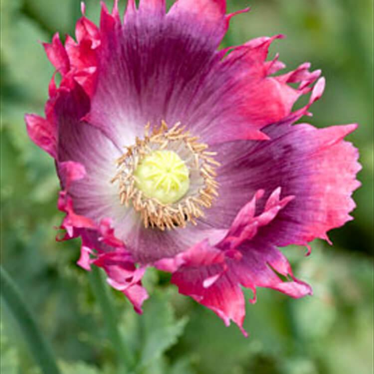 Papaver-somniferum.-Opium-poppy.-RHS.jpg