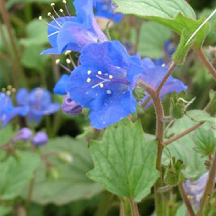Phacelia-campanularia.-Californian-bluebell.-RHS.jpg