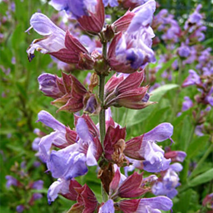 Phlomis-species.-Sage.-RHS.jpg