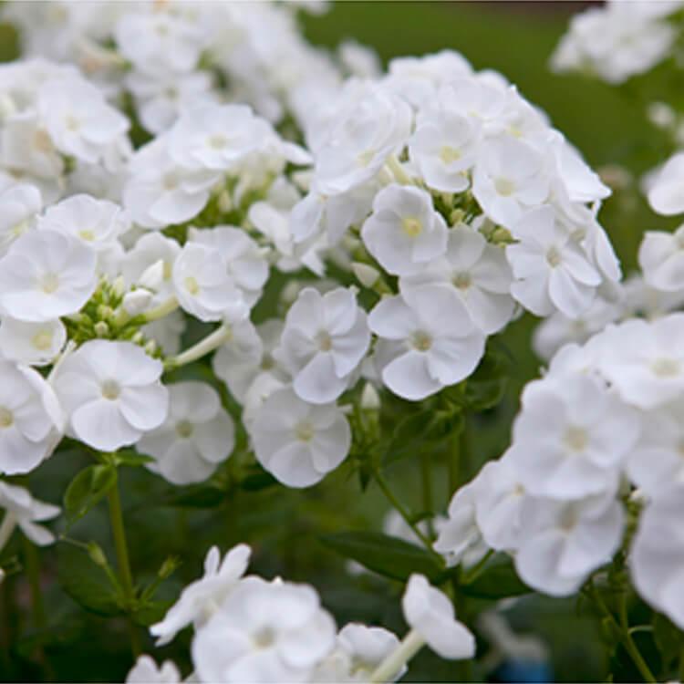 Phlox-paniculata.-Perennial-phlox.-RHS.jpg