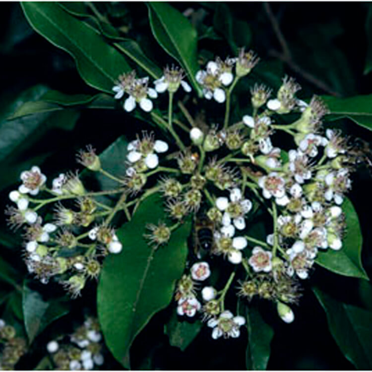 Photinia-davidiana.-Stranvaesia.-RHS.jpg