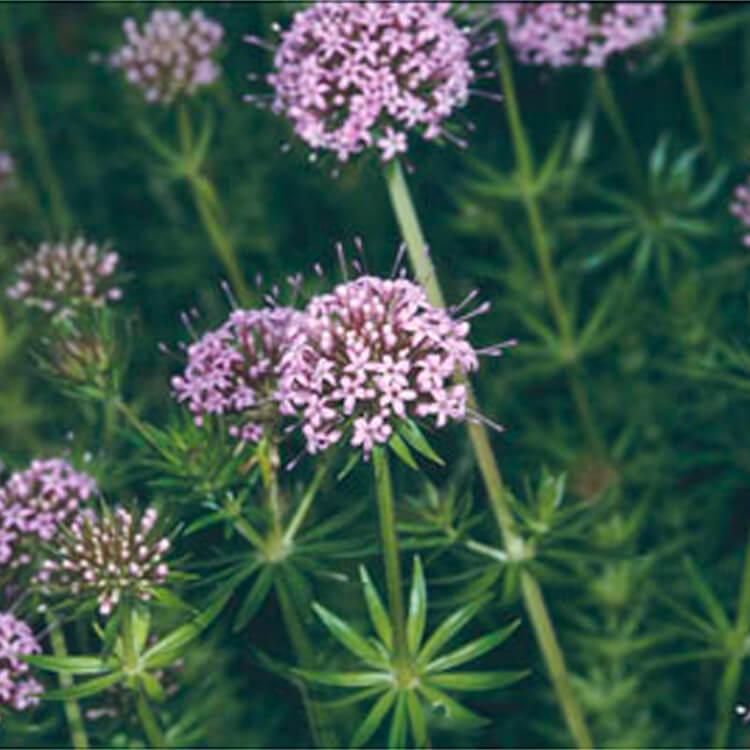 Phuopsis-stylosa.-Caucasian-crosswort.-RHS.jpg