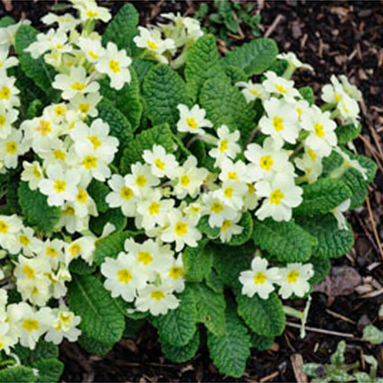 Primula-vulgaris.-Primrose.-RHS.jpg